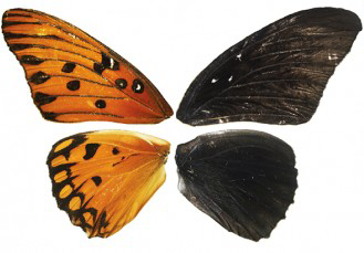Butterly wing patterns altered using CRISPR gene-editing